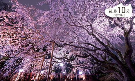 六義園のしだれ桜は見応え抜群
